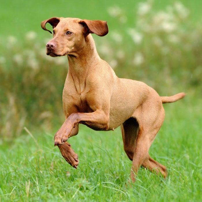vizsla best running dogs
