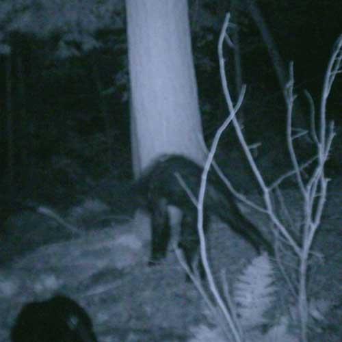 A photo of what the Bigfoot Research Organization calls a juvenile bigfoot.