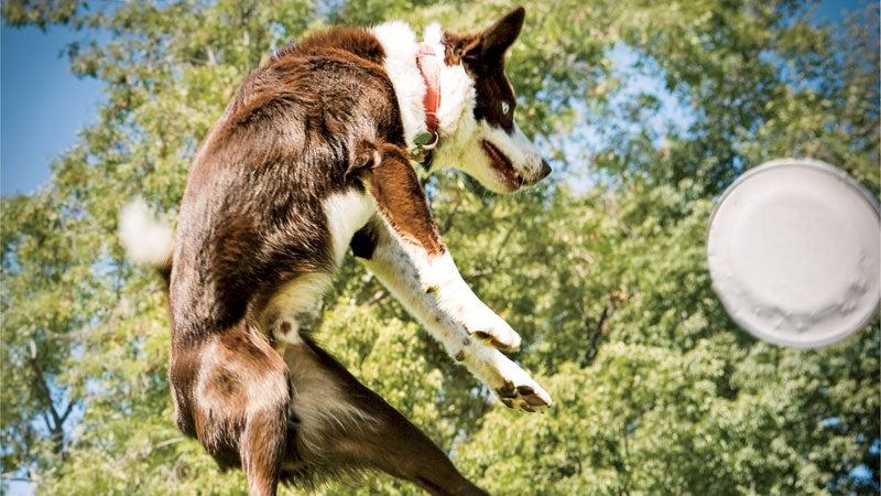dog frisbee jumping