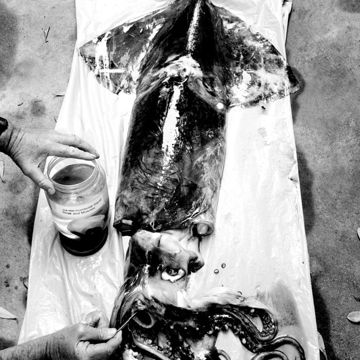 Outside July 2006 Humboldt sea shrimp squid ocean eery beast 20 mph human flesh examined expert William Gilly scientist examines creature underwater