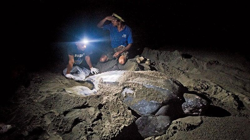 Costa Rica Wildlife Sanctuary Jairo Mora Sandoval Vanessa Lizano carribean beach Limon moin Costa Rica turtle conservation leatherback poachers eggs