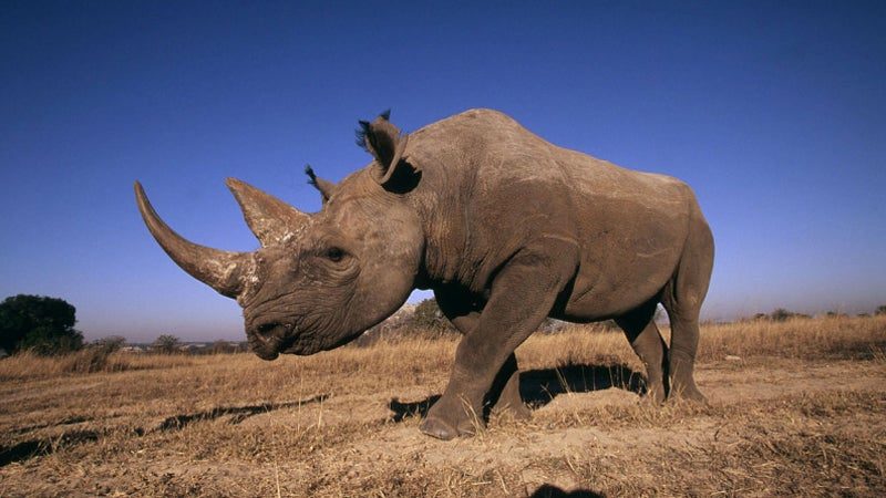 Diceros bicornis Black rhinocer poaching geotagging rhinos outdoors africa namibia outside magazine outside online world wildlife fund