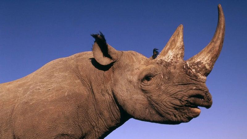 Diceros bicornis Black rhinocer poachers outside magazine outside online rhino black rhino namibia zimbabwe