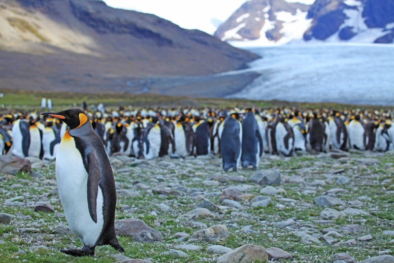 emperor penguin south georgia south georgia island sir ernest shackleton antarctica british imperial trans-antarcti andes patagonia argentina penguin seal blubber kate siber outside magazine outside online the go list travel escapes national geographic explorer