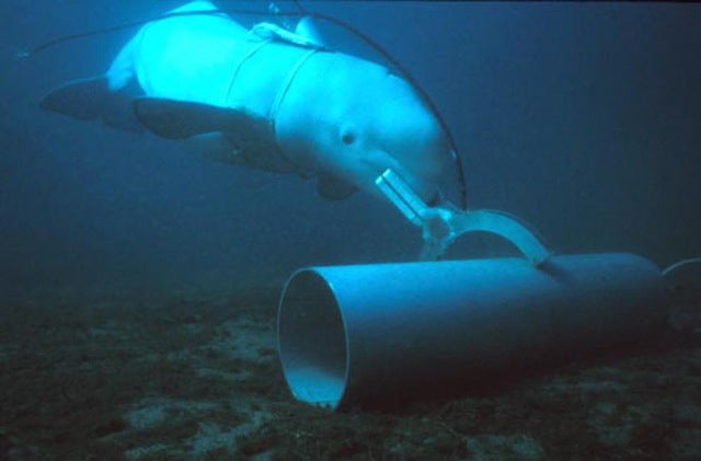 Beached Whales US Navy Military Dolphins