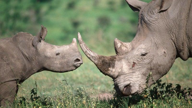 Ceratotherium simum simum Southern White rhinoceros. Adul