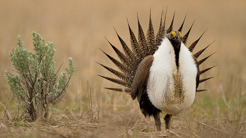 Greater Sage Grouse Centrocercus urophus Mansfield Washington USA outside whats next conservation wildlife animals