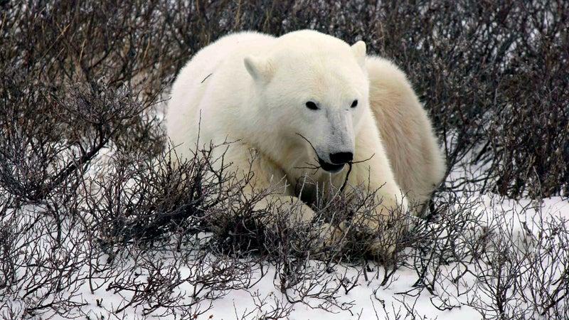 polar bear canada wildlife