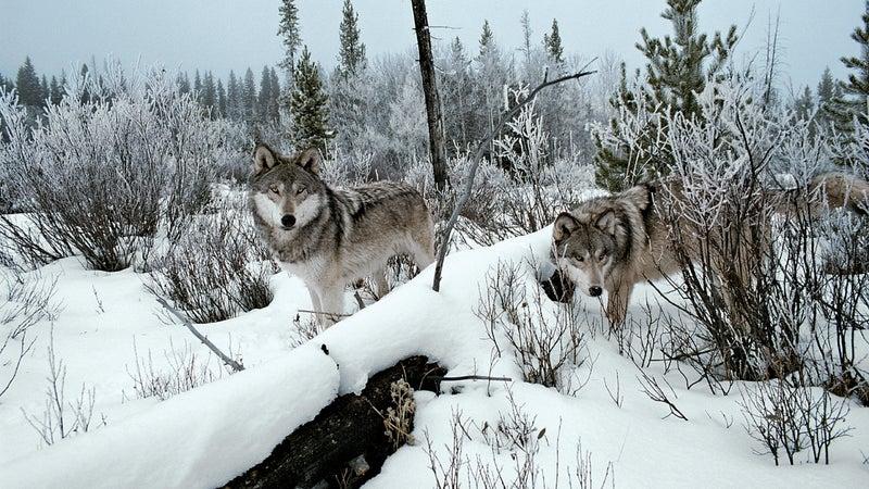 gray wolf idaho sawtooth mountains