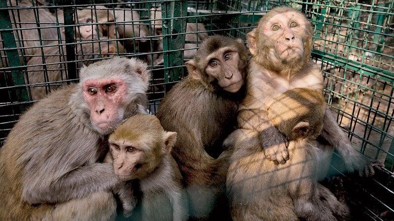 rhesus monkey monkey problem monkey india outdoors outside classics outside online outside magazine