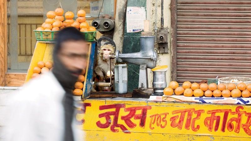 rhesus monkey monkey monkey problem india outdoors outside classics outside magazine outside online