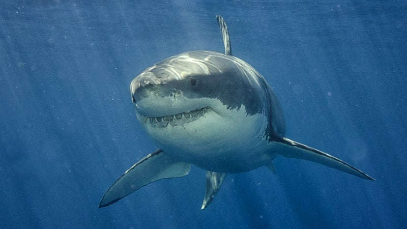 great white hope ocearch sharks