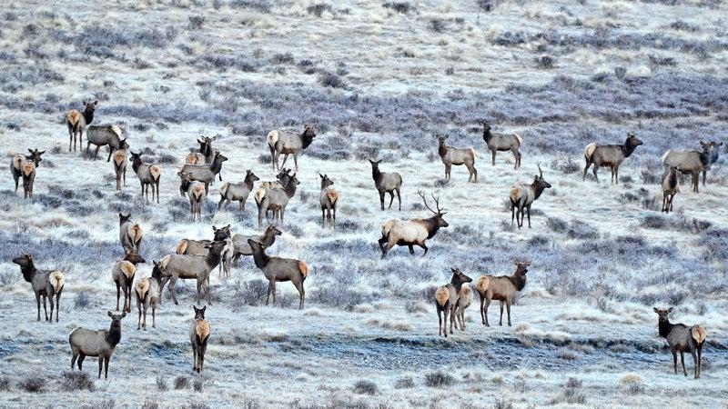 Caldera Elk