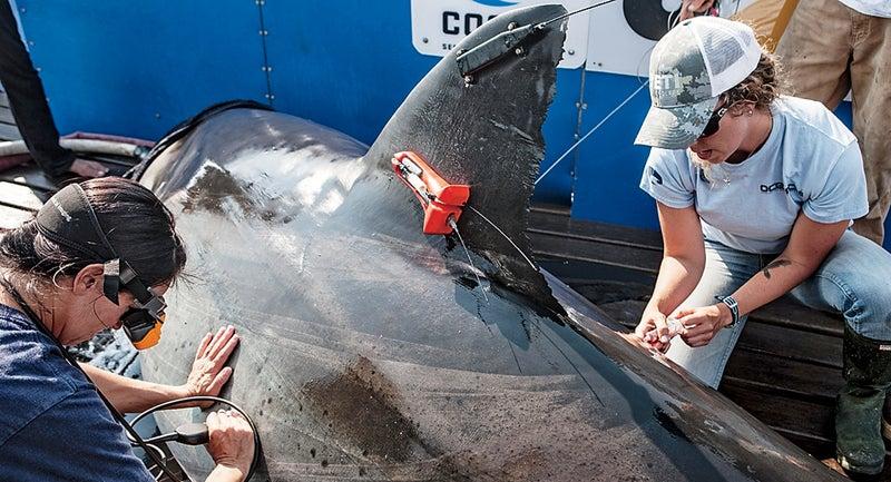shark ocearch chris fischer