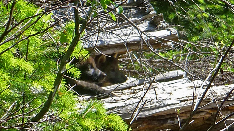 A remote camera captured a photo of OR-7's two known pups peeking from their den, located in Oregon's Rogue River-Siskiyou National Forest.