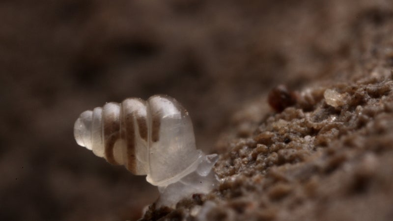 OutsideOnline ghost snail transparent no shell dark caves no eyes top 10 species discovered found past year 2014 SUNY scientists International Institute Species Exploration College of Environmental Scienc
