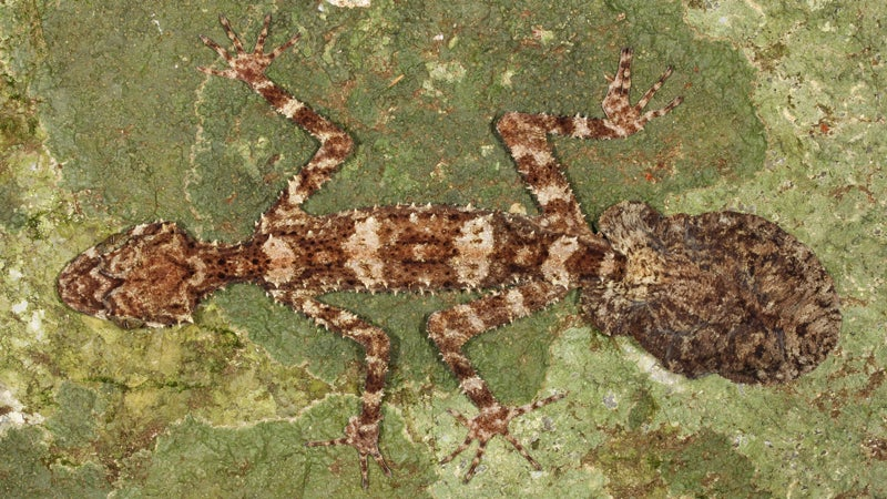 OutsideOnline gecko Mediterranean leafy leaf-tailed camouflage top 10 species discovered found past year 2014 SUNY scientists International Institute Species Exploration College of Environmental Scienc