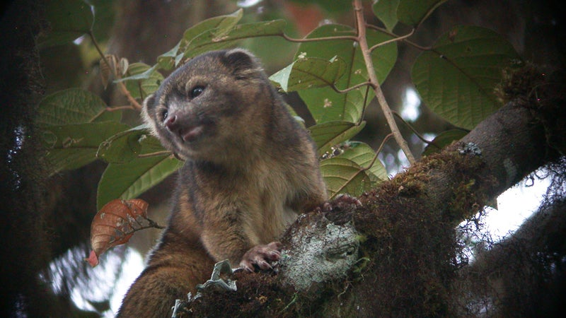 OutsideOnline olinguito tree-bound tree carnivore teddy bear Ecuador top 10 species discovered found past year 2014 SUNY scientists International Institute Species Exploration College of Environmental Scienc