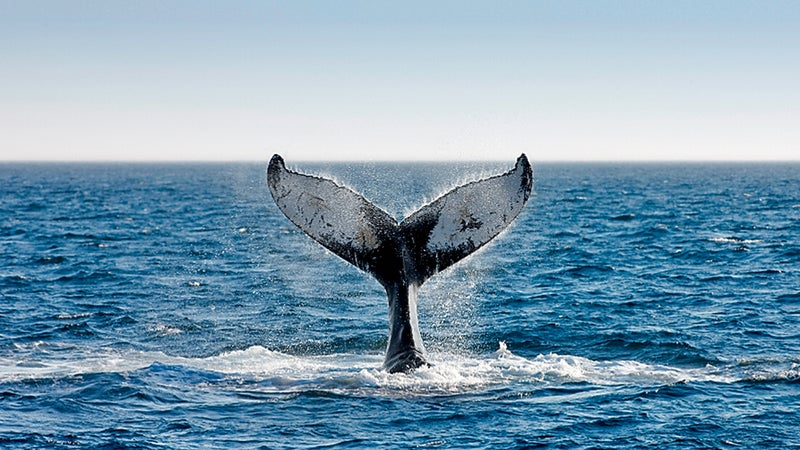 Humpback whale, Bay of Fundy.