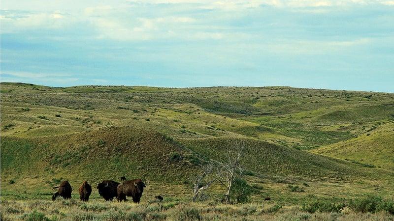 bison bison montana buffalo