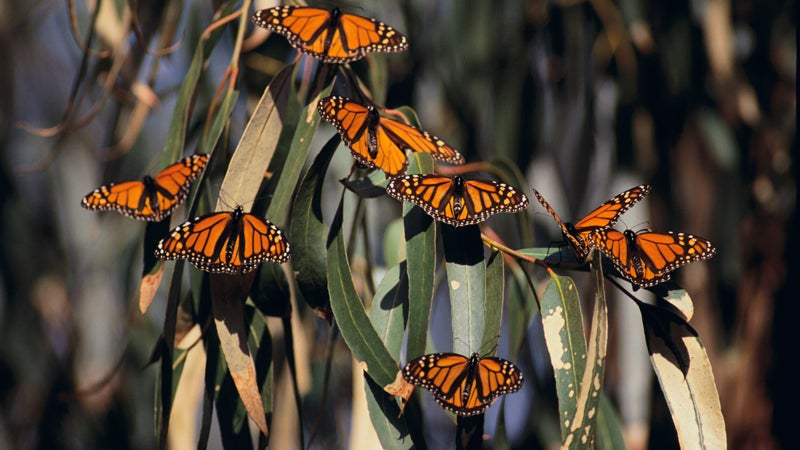 Monarch Butterflies OutsideOnline natural wonders warming global before gone climate change Texas Mexico extinct butterfly Monarch